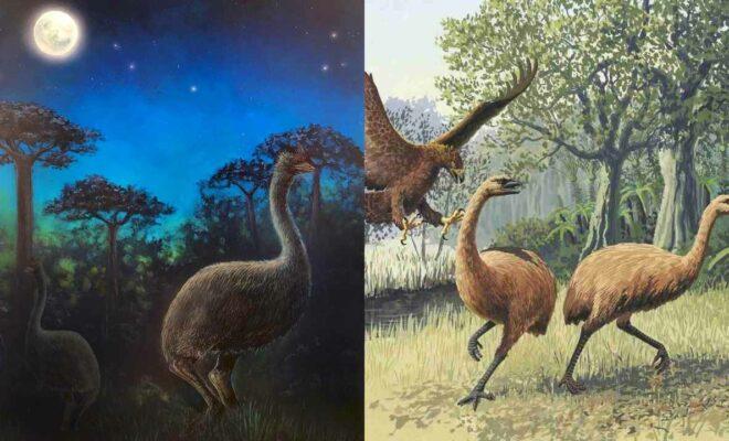 Burung Moa, Hewan Purba Raksasa yang Fosilnya Ditemukan di Selandia Baru
